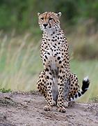 Cheetah (Acinonyx jubatus) from  Maasai Mara, Kenya.