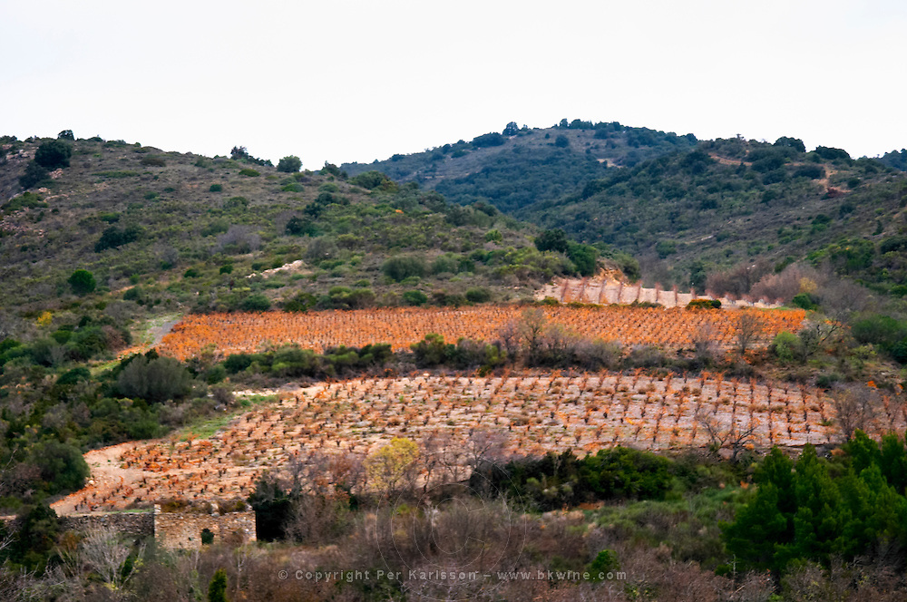 Domaine Grand Guilhem. In Cascastel-des-Corbieres. Fitou. Languedoc. Garrigue undergrowth vegetation with bushes and herbs. The vineyard. France. Europe.