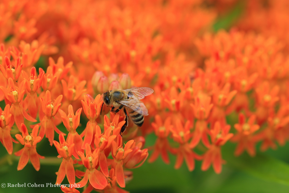 """""""Butterfly Weed Heaven""""<br /> <br /> Beautiful orange Butterfly Weed with a bee!"""