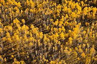 Aspen trees changing colors in the fall.