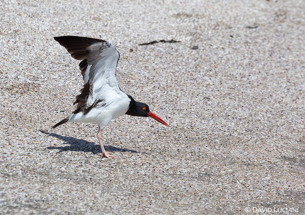 The american oystercatcher is one of the shorebirds you can observe at Paracas National Reserve.