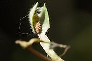 White admiral (Limenitis camilla) larva inside hibernaculum on honeysuckle (Lonicera periclymenum). Sussex, UK.