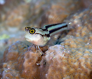 Striped Blenny at Lilua's Reef, Papua New Guinea