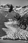 Andean condor Vultur gryplus, flying over Frances glacier, Cordillera darwin, Isla Grande, Tierra del Fuego, Chile.
