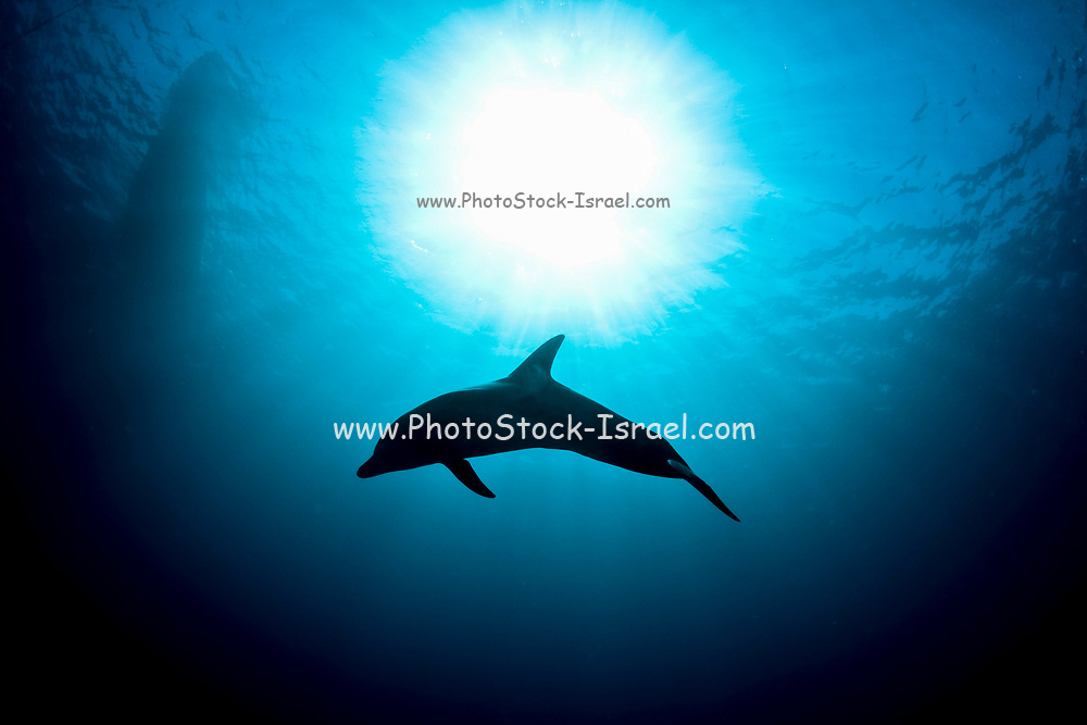 Underwater photograph of a silhouette of a three year old Common Bottlenose Dolphin (Tursiops truncatus). Photographed in the Red Sea, Eilat, Israel