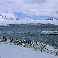 Adelie Penguins march along the shore of the Antarctic Peninsula at Brown Bluff.