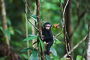 An infant Celebes Crested Macaque ( Macaca nigra ) shakily climbs a branch away from it's mother, Sulawesi, Indonesia