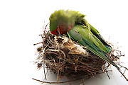 Pet Parrot in a nest on white background