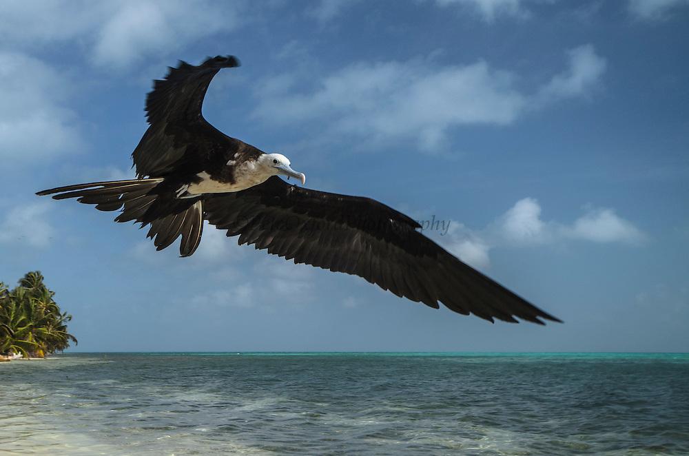 Magnificent Frigatebird (Fregata magnificens)<br /> Halfmoon Caye<br /> Lighthouse Reef Atoll<br /> Belize<br /> Central America