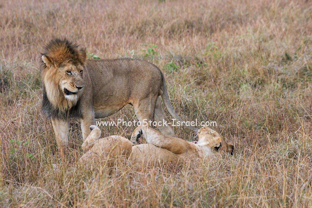 Lion and Lioness mating. Photographed at Masai Mara Kenya