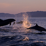 Bottlenose Dolphin (Tursiops truncatus) Jumping in  the Gulf of Mexico near Honduras. Controlled Conditions