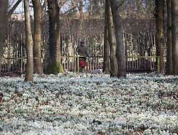 © Licensed to London News Pictures. 13/02/2017. Newbury, UK.  Deborah Puxley looks at a white carpet of Snowdrops in the woods at Welford Park near Newbury. Welford Park, where The Great British Bake Off is filmed every summer, is only open for visitors for five weeks in the year - until March 5th. Sunshine and warmer temperatures are expected in the south today after the recent cold spell.  Photo credit: Peter Macdiarmid/LNP