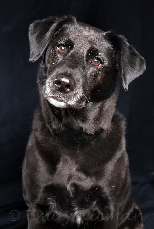 Shiny black dog with white muzzle and amber eyes