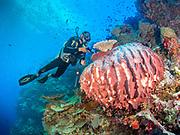 Large Natural Vase Sponge at Mulloway reef, Tufi, Papua New Guinea