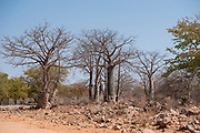 African Baobab Tree (Adansonia digitata). Photographed at the Kunene River (Cunene River), the border between Angola and Namibia, south-west Africa
