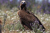 Black Vulture (Aegyptus monacha)  Monfrague, Spain. April 2009