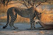 Cheetah Dragging Impala<br />Acinonyx jubatus<br />Okavango Delta, BOTSWANA.  Africa