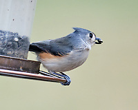 Tufted Titmouse (Baeolophus bicolor). IImage taken with a Fuji X-H1 camera and 200 mm f/2 lens + 1.4x teleconverter.