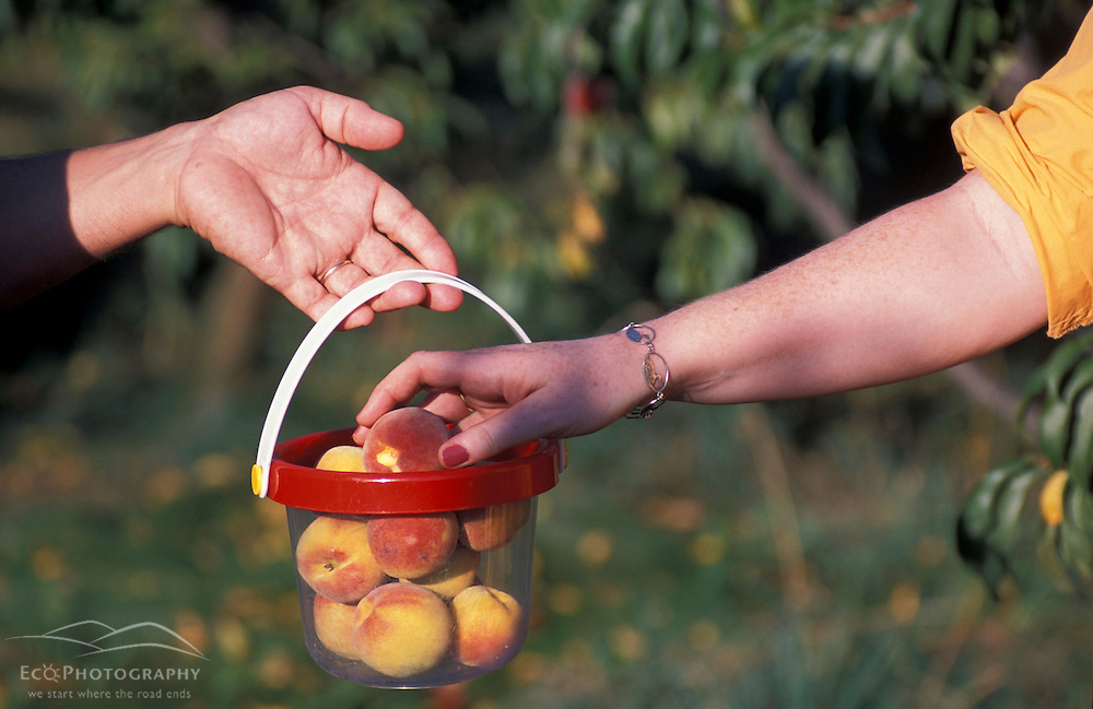 A bucket of peaches at the orchards at the J and F Farm.  Derry, NH