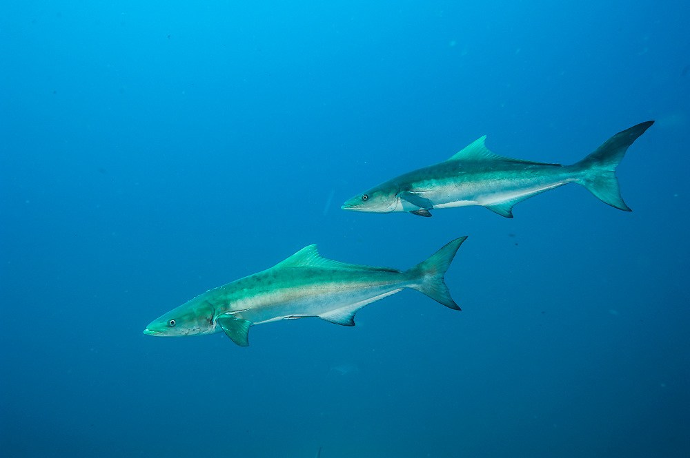 A pair of Cobia, rachycentron canadum, swim near the Atlas wreck offshore Morehead City, North Carolina, United States.