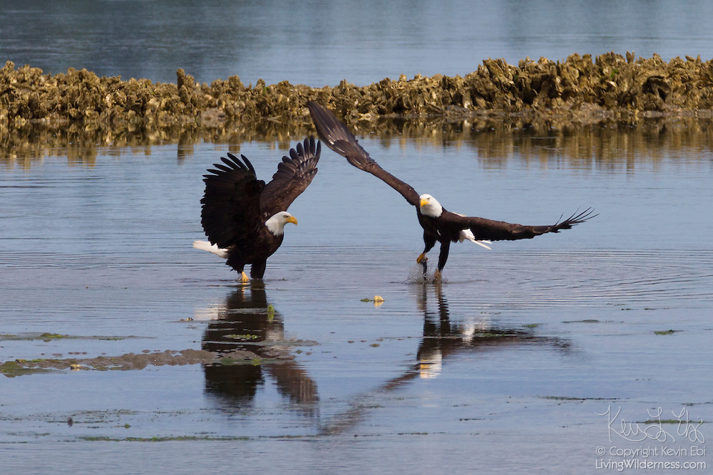 A bald eagle (Haliaeetus leucocephalus) catches a midshipman fish at low tide in the Hood Canal near Seabeck, Washington. Hundreds of bald eagles congregate in the area early each summer to feast on the migrating fish, which gets trapped in oyster beds during low tide.