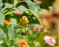 Goldfinch Feeding on Sunflowers in My Wildflower Patch. Image taken with a Nikon 1 V3 camera and 70-300 mm lens