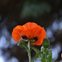 Orange Poppy blossom