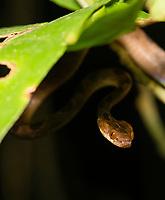 Northern Cat-eyed Snake, Leptodeira septentrionalis, at Tirimbina Biological Reserve, Costa Rica