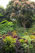 A densely planted area of Cordiaeum variegata (Croton) under Mangnifera indica (Mango Tree) in The Tower Garden, St. Paul's, Grenada, the Caribbean, West Indies
