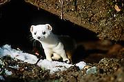 Alaska. Big Lake. Ermine (short-tailed weasel).