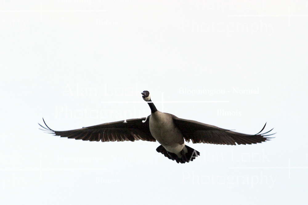09 April 2005:   Canadian goose (geese) in flight on an overcast day with a grey sy.