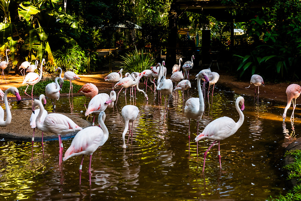 Flamingo, Parque des Aves (Bird Park), Foz do Iguacu, Brazil.          <br /> <br /> Parque das Aves is the only institution in the world focused on the conservation of the beautiful and exuberant birds of the Atlantic Rainforest, offering an up-close, immersive and charming experience with them.