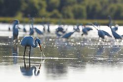 Wading birds in Lemon Lake, Great Trinity Forest near Trinity River, Dallas, Texas, USA.