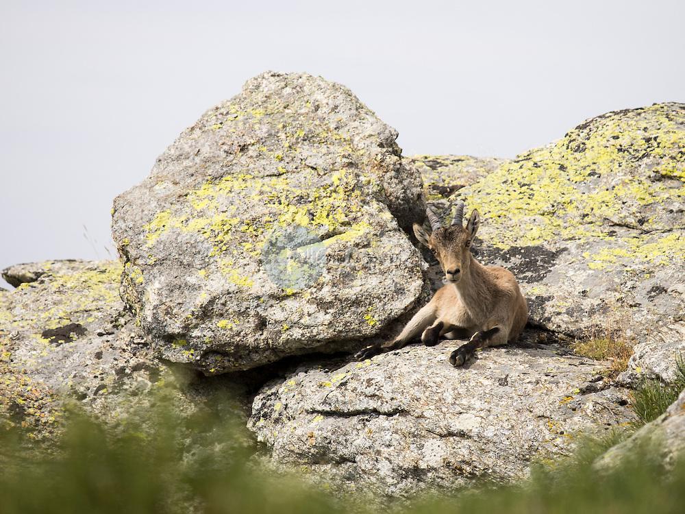 Cabra montés o Ibice ibérico (Capra pirenayca) ©Country Sessions / PILAR REVILLA