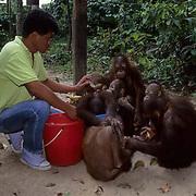 Orangutan, (Pongo pygmaeus) Juveniles being fed in nursery at Sepilok Forest Rehabilitation Center. Borneo. Malaysia. Controlled Conditons.