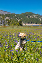 """""""Puppy in Sagehen Meadows 2"""" - Photograph of Golden Retriever puppy """"Quill"""" in the Camas wildflowers at Sagehen Meadows, a little north of Truckee, California."""