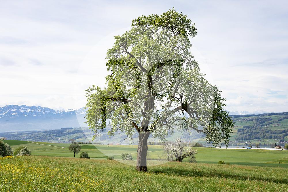 SCHWEIZ - MÜSWANGEN - Blühende Hochstamm-Bäume - 24. April 2019 © Raphael Hünerfauth - https://www.huenerfauth.ch