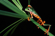 Tiger-leg monkey frog (Phyllomedusa tomopterna)<br /> CAPTIVE<br /> Amazon region<br /> ECUADOR. South America<br /> RANGE: Ecuador<br /> Amazon Basin