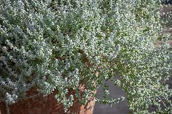 Helichrysum microphyllum syn. Plecostachys serpyllifolia - Dwarf curry plant - growing in a terracotta pot