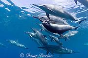 Hawaiian spinner dolphins or Gray's spinner dolphin<br /> Stenella longirostris longirostris, pod with couple mating<br /> Kona, Hawaii ( Big Island ) Hawaiian Islands<br /> ( Central Pacific Ocean )