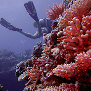 Red corals on the Great Barrier Reef Divers diving on the Great Barrier Reef.