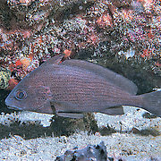 Cubbyu inhabit secluded areas of reefs, often under ledges, in recesses or near the entrance to caves in North Carolina to Florida and Gulf of Mexico; picture taken in  Palm Beach, FL.