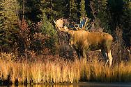 Moose in the Yukon