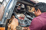 The farmer carries his head of livestock, freshly felled, in the trunk of his car (Annai, North Rupununi).
