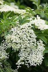Common Elderflower or Elderberry. Sambucus nigra