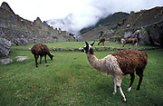 Llama on the Inca Trail to Machu Picchu (also known as Camino Inca).