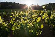 Evening sunlight shines through leaves and crops of a vineyard on farming land in the Corbieres wine region, on 25th May, 2017, in Lagrasse, Languedoc-Rousillon, south of France. Lagrasse is listed as one of Frances most beautiful villages and lies on the famous Route 20 wine route in the Basses-Corbieres region dating to the 13th century.
