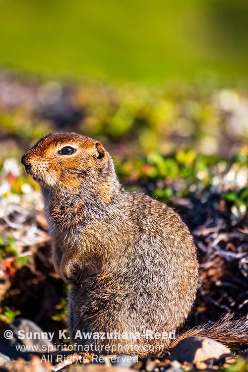 Close up of Arctic Ground Squirrel, Kesugi Ridge, Denali State Park, Southcentral Alaska, Summer. Vertical image.