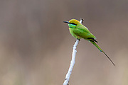 Green bee-eater (Merops orientalis) from Pench National Park, Madhya Pradesh, India.