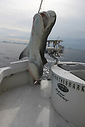 Hugh Tiger shark caught off coast of Miami<br /> <br /> A hugh tiger Shark weighing over 1000lbs (71 stone) was caught 3 miles off Miami Beach Swimming Area by Mark the Shark, who is licensed Shark fisherman by the state of Miami, Tiger sharks and hummerhead sharks are protected upto 3 miles in state waters  can be caught but are all tagged released, sharks outside 3 miles in federal waters can be harvested for scientific purpose, research and even food for restaurants, these Tiger sharks are number 3 of the most dangerous in the world and will attack humans they have a very short temper.<br /> <br /> The shark was over 12ft in length and took over 3 hours to land.<br /> found in the stomach was<br /> <br /> 2 sea turtles<br /> 1 seagull<br /> 4 lionfsh<br /> 2 stingrays<br /> 1 white boot size 11<br /> and Reef fish<br /> ©Exclusivepix Media